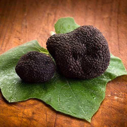 Truffes noires d'hiver du Périgord fraîches